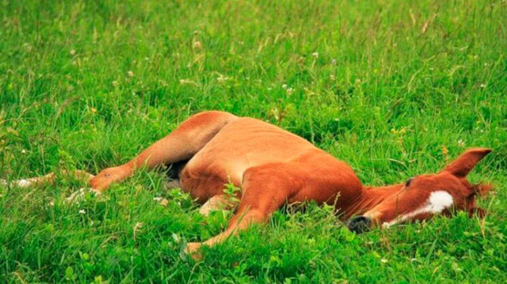 Как спят животные конь спит