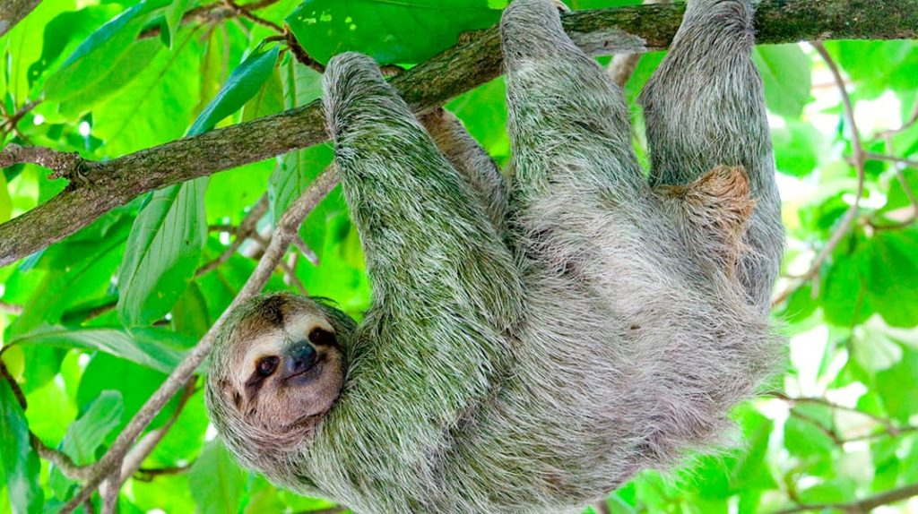 Лайфхаб Как спят животные ленивец