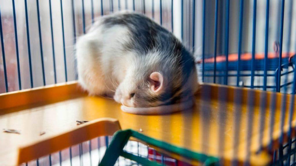 Крыса спит лайфхаб