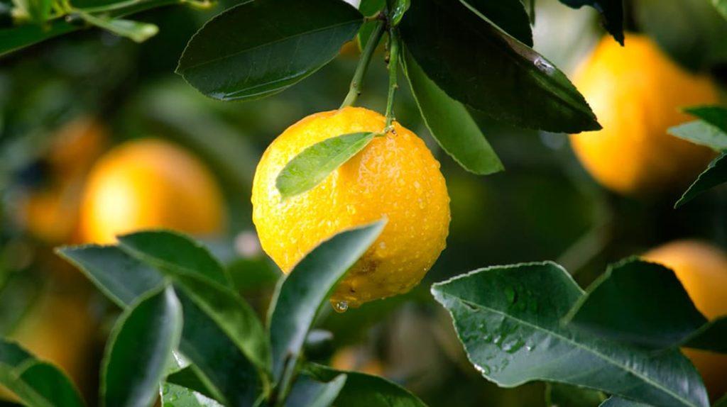 Как не стареть, лимон полезные свойства